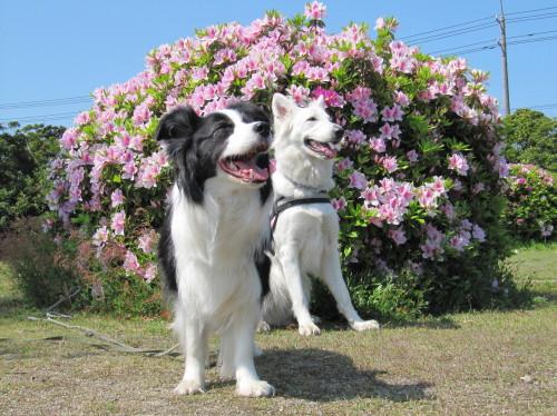 ピンクのつつじの前の ホワイトスイスシェパード ビオラ と ボーダーコリー メル