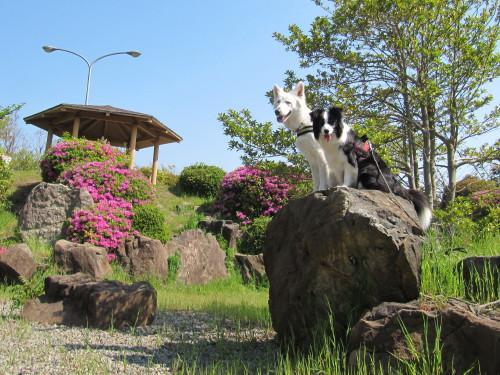 庭園の岩の上に並んで座っている ホワイトスイスシェパード ビオラ と ボーダーコリー メル