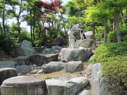 石庭の中の ホワイトスイスシェパード ビオラ と ボーダーコリー メル