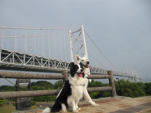 瀬戸大橋を背景に ホワイトスイスシェパード ビオラ と ボーダーコリー メル