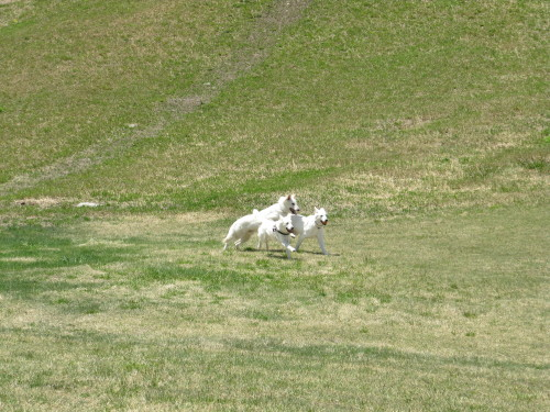 山に向かう ホワイトスイスシェパード ビオラ タキオン エース
