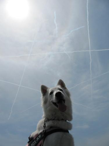 飛行機雲とホワイトスイスシェパード ビオラ