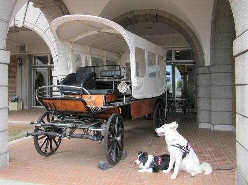 馬車とホワイトスイスシェパード ビオラ と ボーダーコリー メル