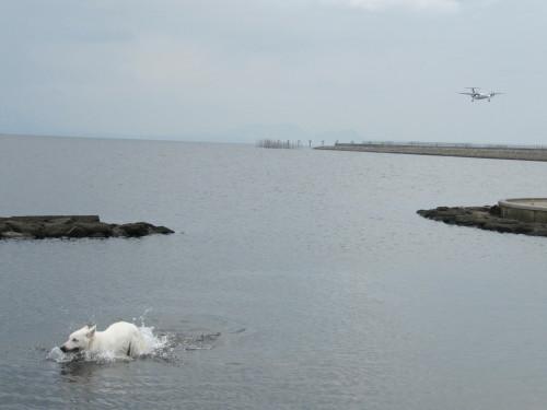 宍道湖と飛行機とホワイトスイスシェパード ビオラ