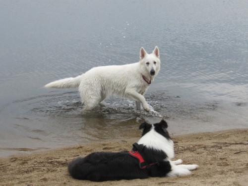 宍道湖と ホワイトスイスシェパード ビオラ と ボーダーコリー メル