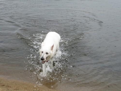 宍道湖と ホワイトスイスシェパード ビオラ②