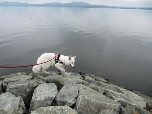 宍道湖とホワイトスイスシェパード ビオラ①