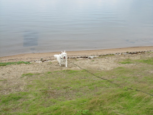 宍道湖とホワイトスイスシェパード ビオラ④