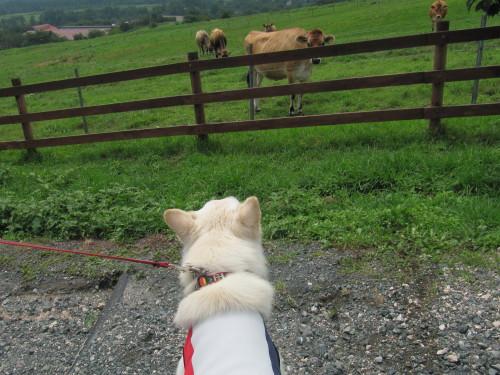 向かってくる牛と ホワイトスイスシェパード ヴァルター