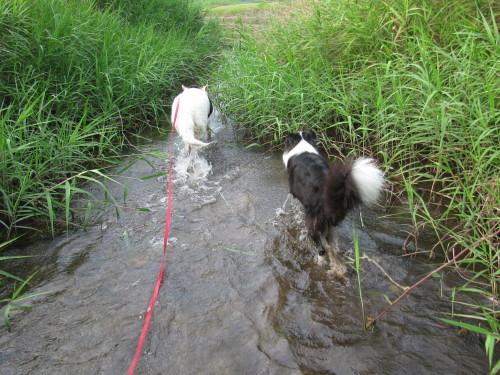川の中を進む ホワイトスイスシェパード ビオラ と ボーダーコリー メル
