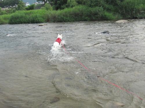 川で遊ぶ ホワイトスイスシェパード ビオラ
