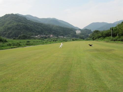 芝生で遊ぶ ホワイトスイスシェパード ビオラ と ボーダーコリー メル②