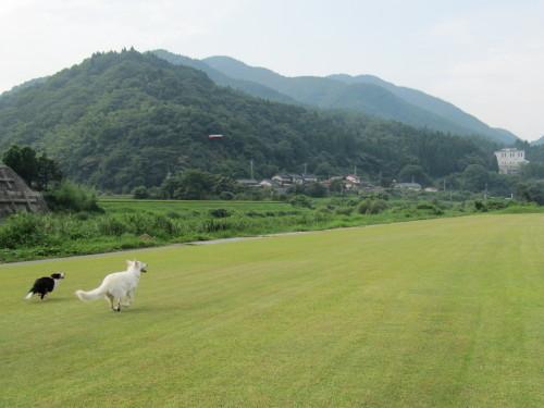 芝生で遊ぶ ホワイトスイスシェパード ビオラ と ボーダーコリー メル①