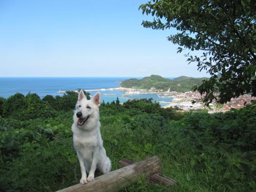 日本海の港をバックに ホワイトスイスシェパード ビオラ
