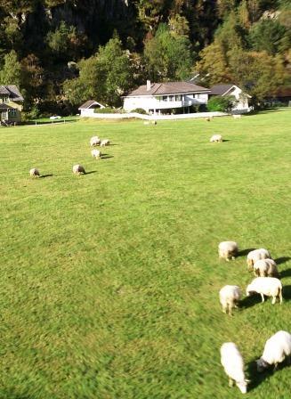 ノルウェーの羊