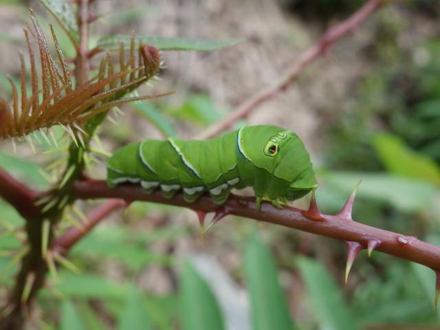 sナミアゲハ幼虫