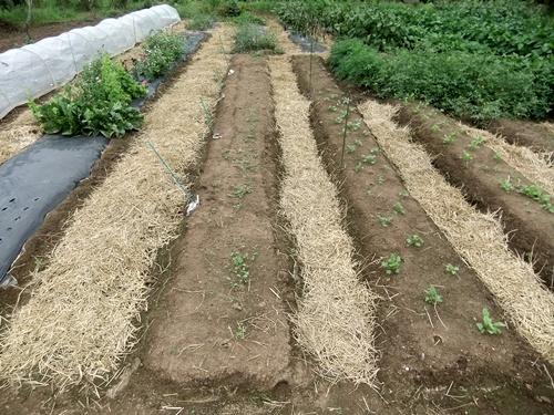 2013.9.9 稲刈り藁の再利用(ママさんの畑) 021