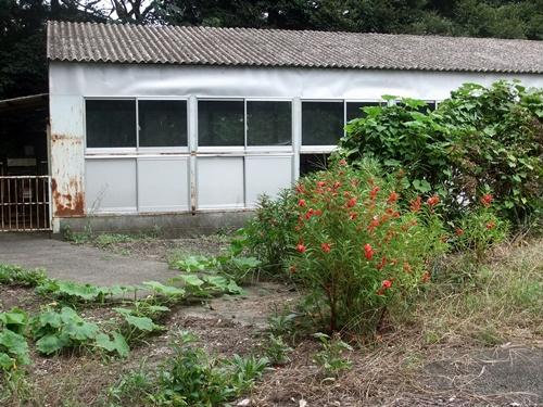 2013.9.8 隣のホウセンカ(牛舎跡) 016