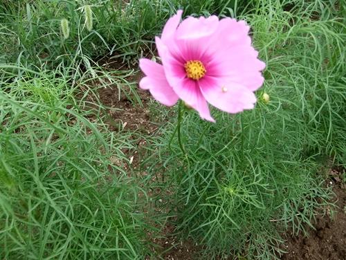 2013.9.7 コスモス開花(ママさんの畑リ) 023