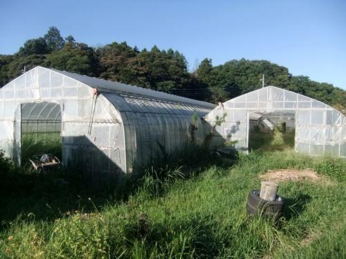 2013.9.16 台風18号通過あとの晴天(ハウス) 003 (2)