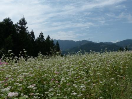 内子町・石畳地区 ソバの花 1