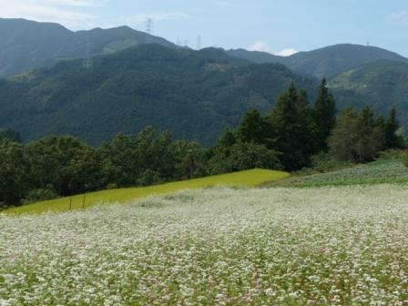 内子町・石畳地区 ソバの花 2