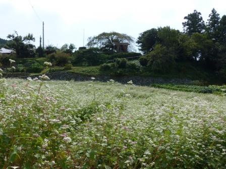 内子町・石畳地区 ソバの花 5