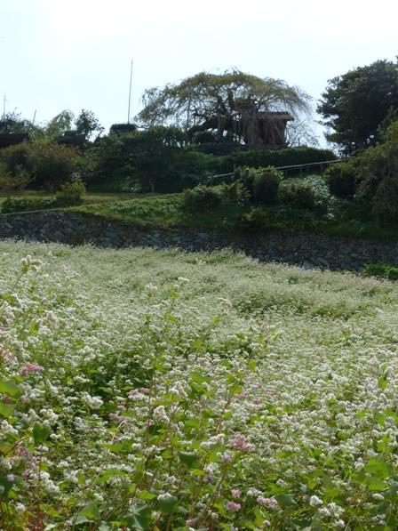 内子町・石畳地区 ソバの花 6