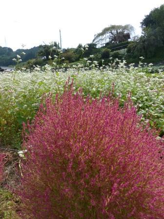 内子町・石畳地区 ソバの花 & コキア 2