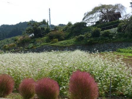 内子町・石畳地区 ソバの花 & コキア 1