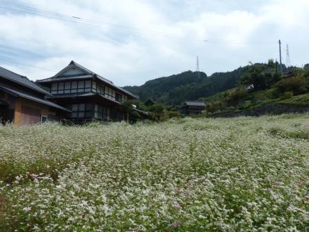 内子町・石畳地区 ソバの花 7