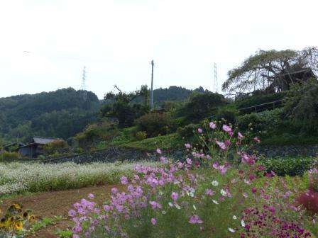 内子町・石畳地区 ソバの花 & コスモス