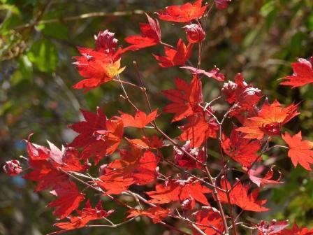 瓶ヶ森林道 紅葉 11