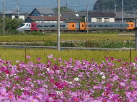 浅海原 コスモス & 8000系特急電車 2