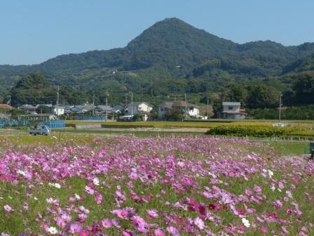 浅海原 コスモス 2