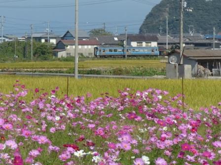 浅海原 コスモス & 7000系電車