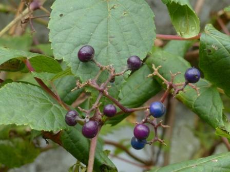 皿ヶ嶺・風穴付近 ノブドウの果実 ? 1