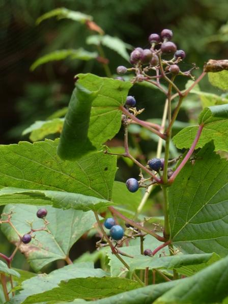 皿ヶ嶺・風穴付近 ノブドウの果実 ? 2