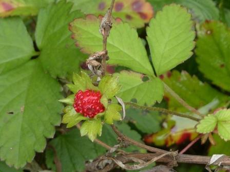 皿ヶ嶺・風穴付近 ヘビイチゴの果実