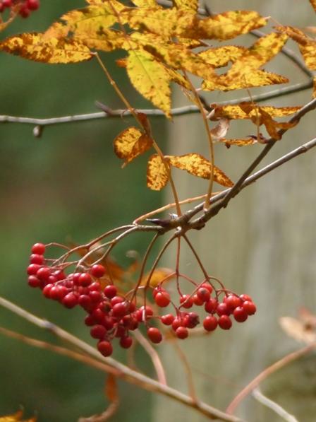 皿ヶ嶺・風穴付近 赤い果実