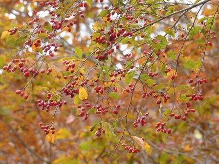 大川嶺周辺 赤い実 3