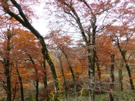 大川嶺周辺 紅葉 9