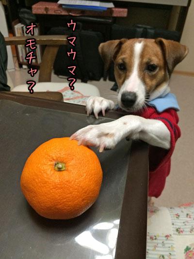 シオンおもちゃ蜜柑2013 12 29_6973