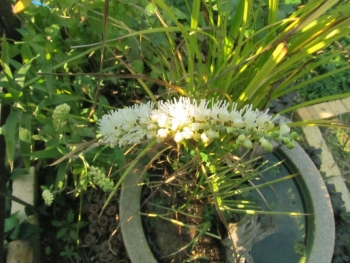 サラシナショウマ 開花