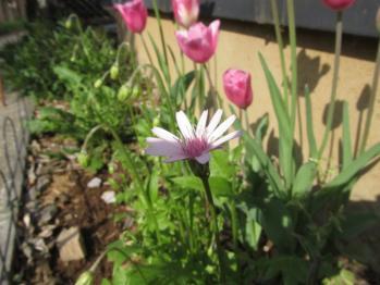 桃色タンポポ 開花