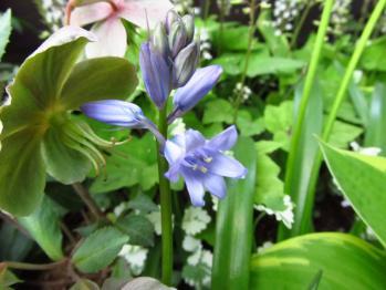 シラー 青 花