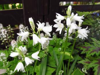 シラー 白 花