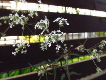 ワイルドチャービル 花