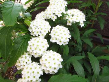 コデマリ 花