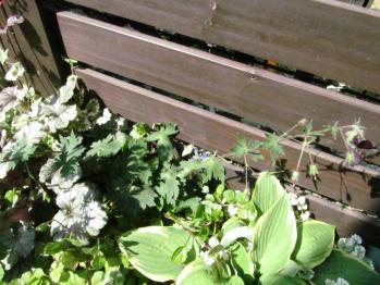黒花フウロ 植え替え前